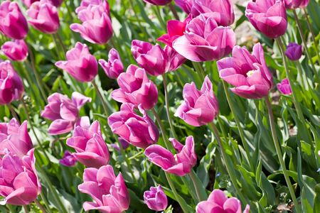 Pink tulip flowers field Stock Photo - 7008308