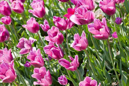 Pink tulip flowers field Stock Photo - 7008308