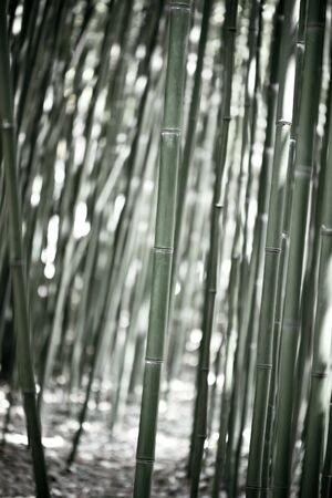 Green Bamboo Forest photo