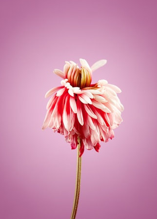 withered flower: Close-up of chrysanthemum withered flower