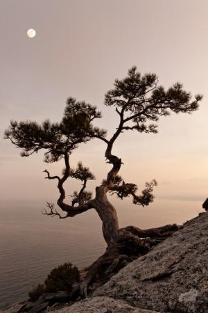 enebro: �rbol de juniper solitaria con luna llena al atardecer