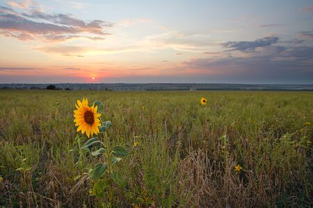 sunset over field with sunflower photo
