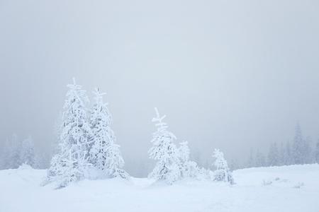 winter dennen op sneeuwstorm weer Stockfoto