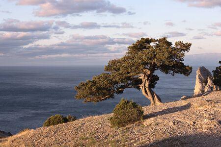rocky mountain juniper: juniper tree on rocky coast of Black sea. Novyi Svet recreation area. Crimea, Ukraine