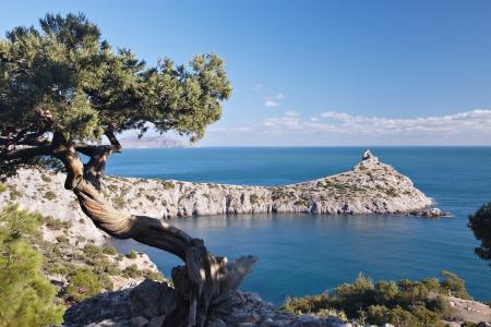 rocky mountain juniper: juniper tree on rocky coast of Black sea. Novyj Svet recreation area. Crimea, Ukraine