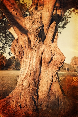 Vintage photo of old tree with big trunk