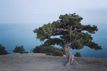 rocky mountain juniper: Juniper tree  Crimea, Ukraine