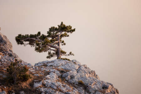 pinetree: Pine-tree on rocky hills of Crimea mountain, Ukraine