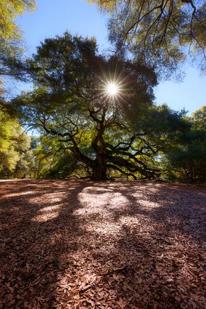angel tree: Angel Oak Tree, Charleston, South Carolina, USA