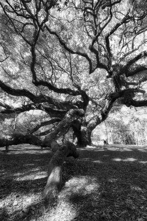 Zwart-wit foto van Angel Oak Tree, Charleston, South Carolina, Verenigde Staten