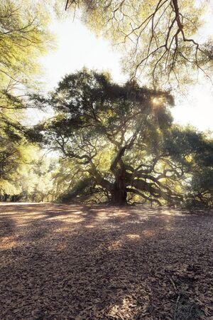 in charleston: Magic forest. Angel Oak Tree, Charleston, South Carolina, USA