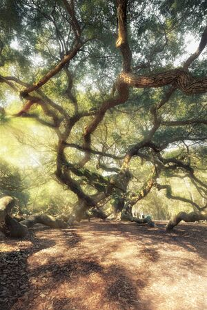 Magic forest. Angel Oak Tree, Charleston, South Carolina, USA photo