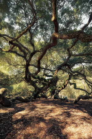 Angel Oak Tree, Charleston, South Carolina, USA photo