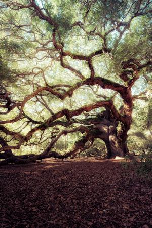 in charleston: Angel Oak Tree, Charleston, South Carolina, USA
