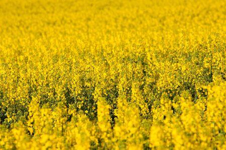 colza: Yellow rapeseed (colza) field