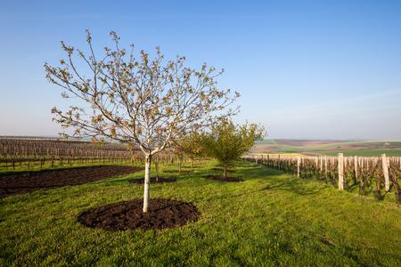 vinery: Vineyard and fruit garden