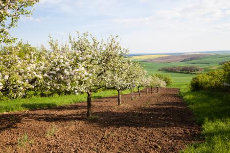 alberi da frutto: Alberi da frutto in un frutteto di primavera a giornata di sole Archivio Fotografico