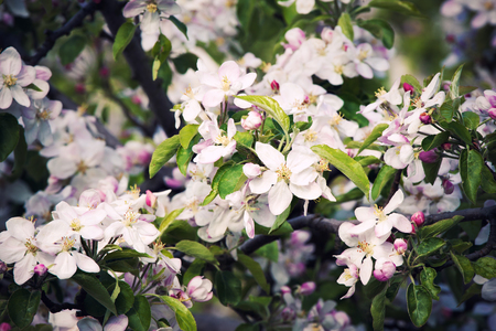 arbres fruitier: Fruit trees blossom in a spring orchard Banque d'images