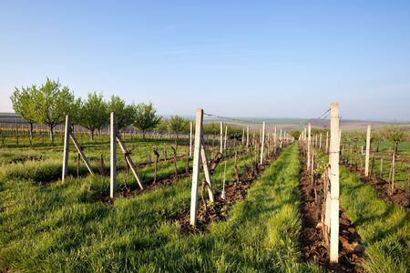 riesling: Vineyard Stock Photo