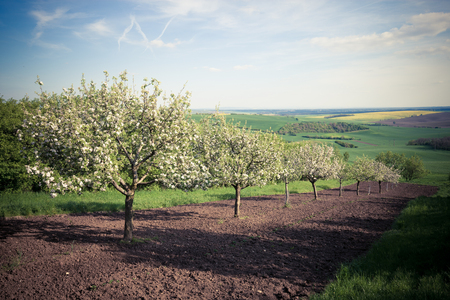 arbres fruitier: Fruit trees in a spring orchard