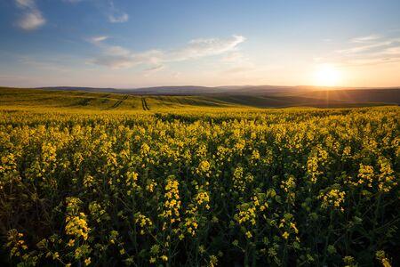 sunny: Beautiful yellow field sunny landscape