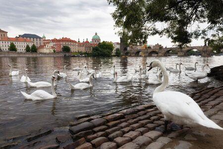 vltava: Swans on Vltava river in Prague, Czech Republic Stock Photo