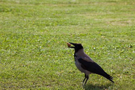 carrion: Carrion crow on the green meadow Stock Photo