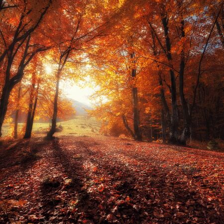 sunny morning: Autumn colors forest at sunny day
