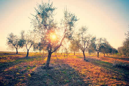 olives: Olive trees Stock Photo