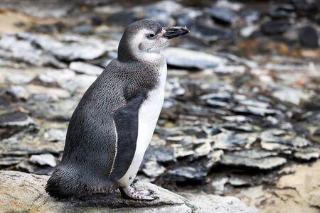 Magellanic Penguin, Spheniscus magellanicus, is a South American penguin, breeding in coastal Argentina, Chile and the Falkland Islands