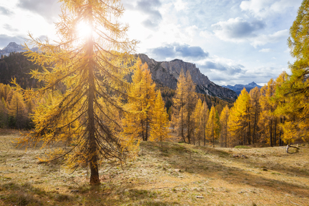 Gorgeous sunny view of Dolomite Alps with yellow larch trees. Colorful autumn panorama view landscape. Italy