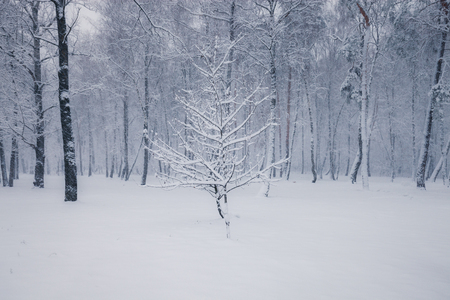 Snowy trees in the winter forest. Winter season nature landscape
