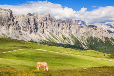 Cow at the green grass alpine meadow pasture at sunny day 写真素材