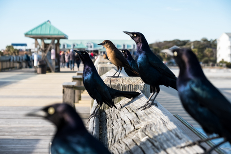 Close up photo of Brewers black birds sitting on wooden pier Redactioneel