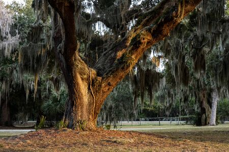 Curved Giant Live Oak Tree with Spanish Moss, Jekyll Island, Georgia