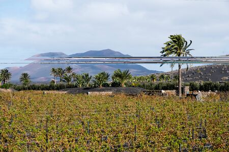 Famous vineyards of La Geria on volcanic soil, Lanzarote Island, Spain