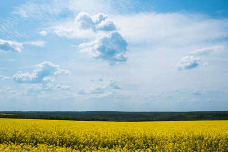 Magnificent views of the endless canola field on a sunny day. White fluffy clouds. Picturesque and gorgeous scene. Beauty world. 스톡 콘텐츠