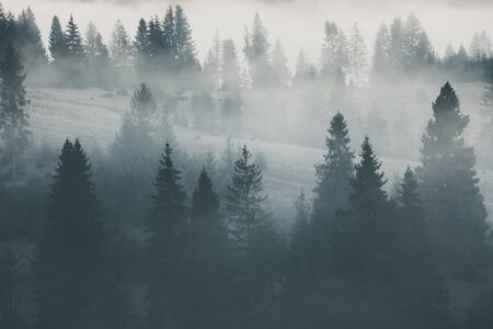Fog covering the mountain pine forests. Nature background 스톡 콘텐츠