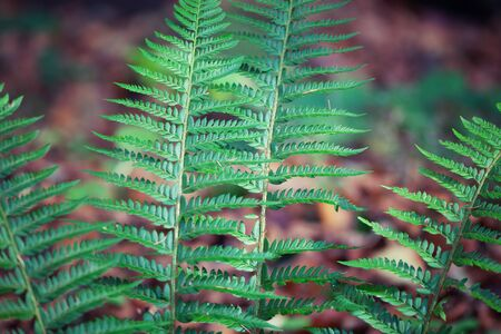Fern in the forest in autumn. The yellow, bright, color-saturated branches of the fern in the forest are lit by bright sunlight.