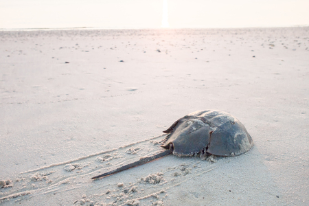 Horseshoe crab crawling back to the ocean on the beach on Delaware Bay at sunrise
