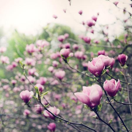 magnolia tree blossom photo