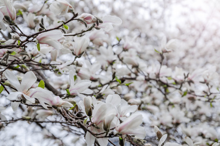 magnolia tree: Magnolia tree blossom