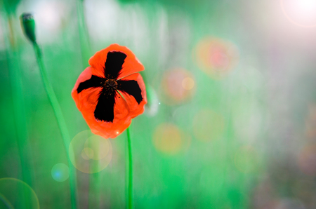 shiny day: Red poppies against the green grass at shiny day