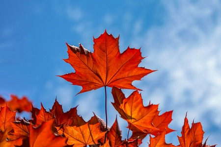 Red maple leaves and blue sky. Spring