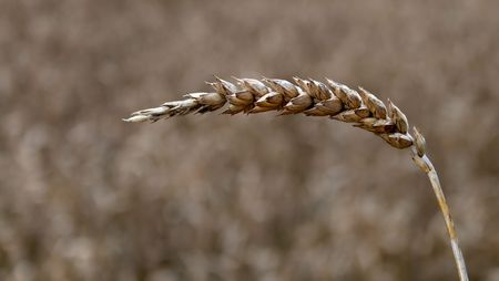 Close-up of wheat crop. Early Autumn. photo