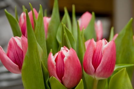 Pink and white tulips with green leaves