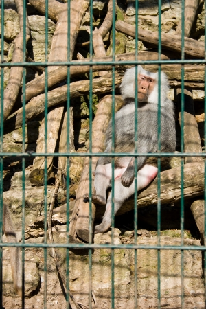 Monkey baboon sitting in the cage of zoo photo