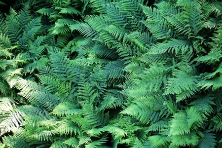 Closeup view on a green fern as a background