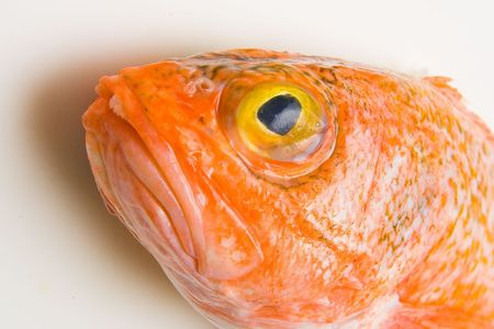 coldblooded: Head of orange roughy on white background