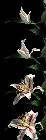 time lapse: Time-lapse series of a lily flower opening